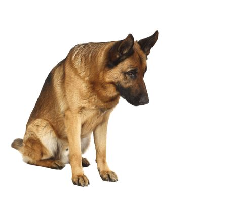 shepherd dog: german shepard dog portrait on white background
