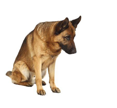 german shepherd: german shepard dog portrait on white background