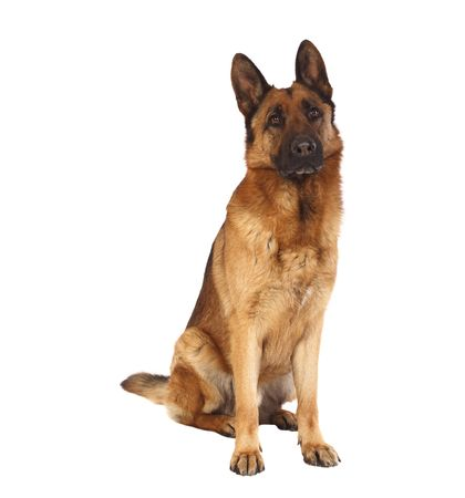 sheperd: german shepard dog portrait on white background