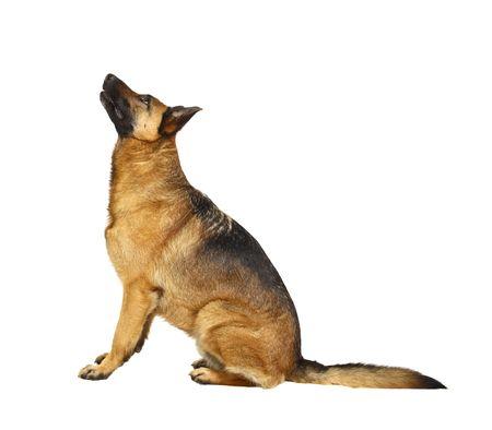german shepherd puppy: german shepard dog portrait on white background