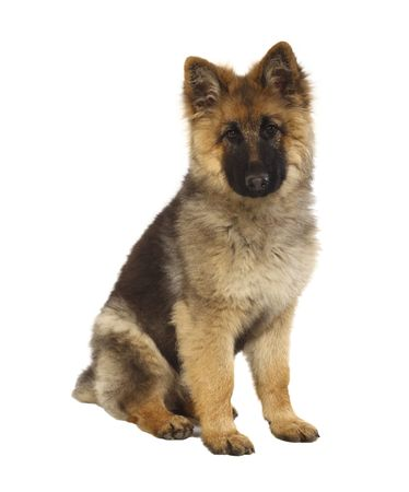 sheperd: puppy of german shepard dog portrait on white background