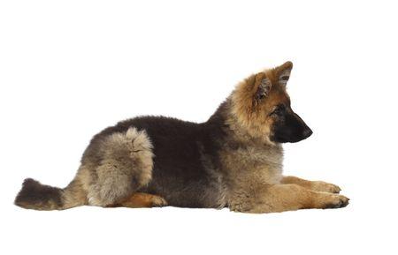shepard: puppy of german shepard dog portrait on white background