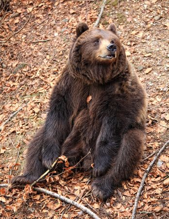 grouchy: italian brown bear relax sit on ground
