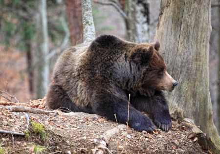 classic brown bear rest sit on the ground Stock Photo