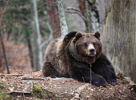 classic brown bear rest sit on the ground photo