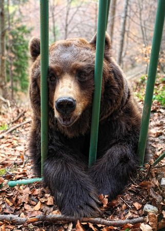 italian brown bear in a cage, italian alpls place photo