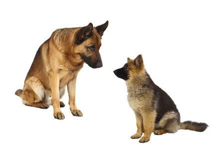 sheppard: german shepard dog portrait and his puppy on white background