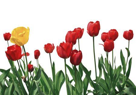 tulip flower: tulip flowers on white background closeup image Stock Photo