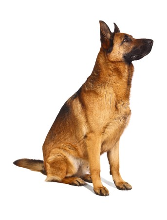 german shepard dog portrait on white background photo