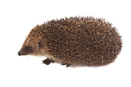 European Hedgehog isolated on white background photo