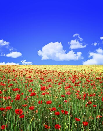 poppies field and blue sky background photo