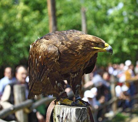 golden eagle: Steinadler Portrait und Blur Menschen Hintergrund Lizenzfreie Bilder