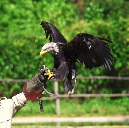 bald eagle landing on falconer glove photo
