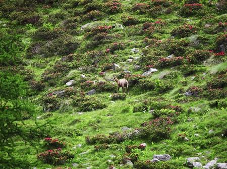 gran paradiso, italian alps, wild chamois background photo