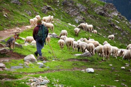 pastor de ovejas: Pastor en el trabajo en los Alpes italianos  Foto de archivo