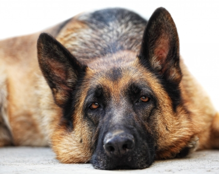 portrait of adult german sheppard photo