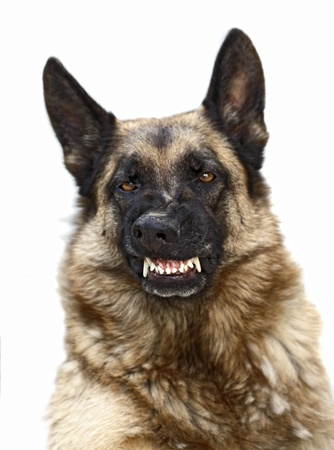 portrait of scary german sheppard on white