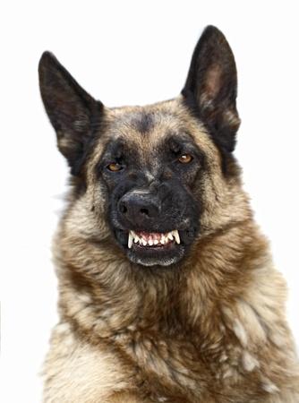 perro policia: Retrato de miedo sheppard alemán en blanco