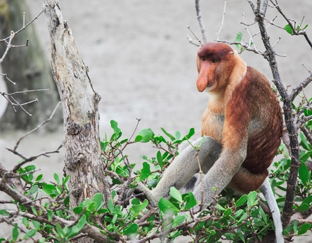 long nosed in bako national park,malaysia photo