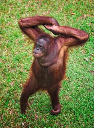 orang: orangutan Stock Photo