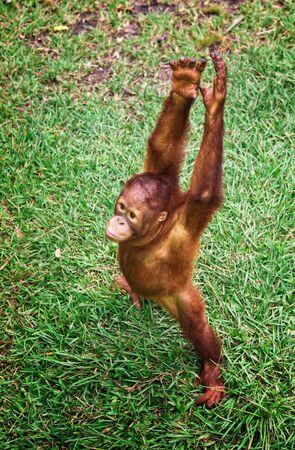 orangutang: orangutan Stock Photo