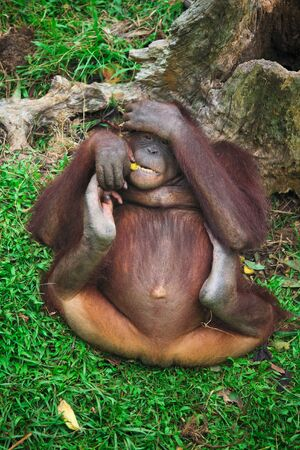 utang: orangutan Stock Photo