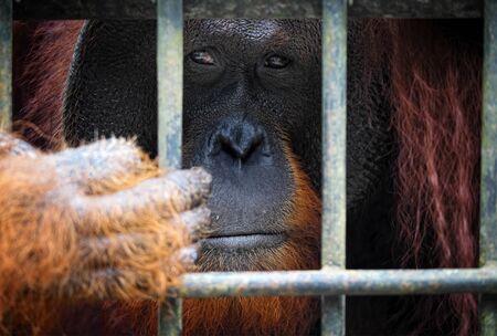 utang: orangutan in cage Stock Photo