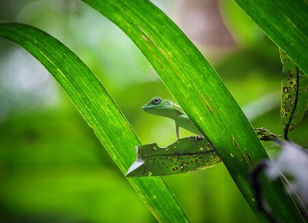 closeup image of green lizard in borneo