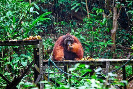 orangutang: orangutang in Semenggoh Wildlife Rehabilitation Centre Stock Photo