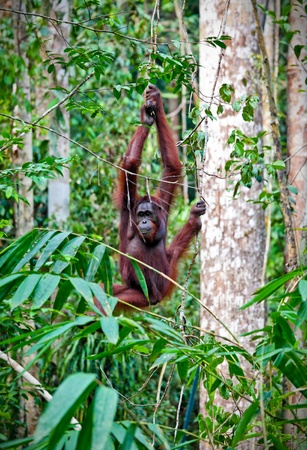 utang: orangutang in Semenggoh Wildlife Rehabilitation Centre Stock Photo