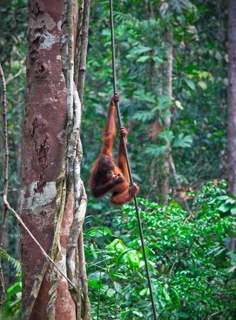 orang: orangutang in Semenggoh Wildlife Rehabilitation Centre Stock Photo