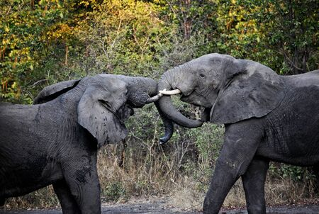 young elephants fight in luangwa national park photo