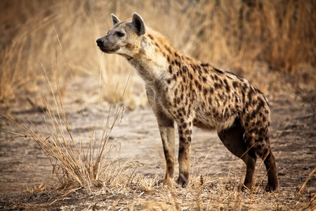 hyena: Spotted hyena in luangwa national park zambia Stock Photo