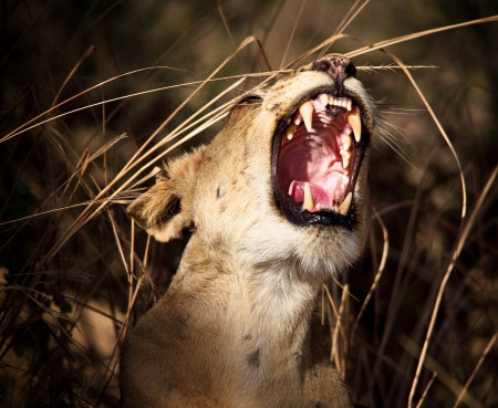 female lion: lioness in luangwa national park zambia