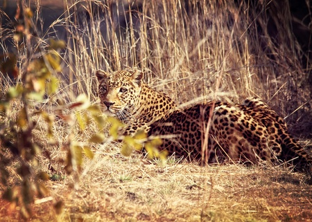 leopard portrait, luangwa national park zambia Stock Photo