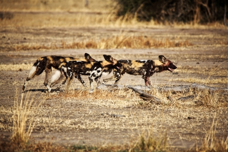 lycaon pictus: Lycaon pictus african wild dogs in luangwa national park zambia