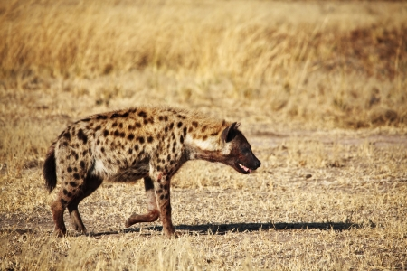 Spotted hyena in luangwa national park zambia photo
