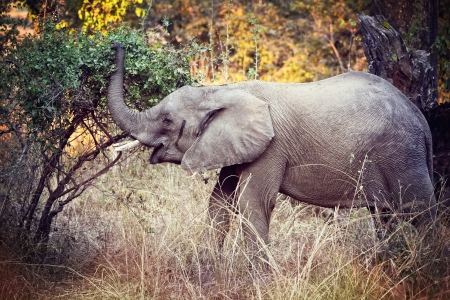 elephant in luangwa national park zambia photo