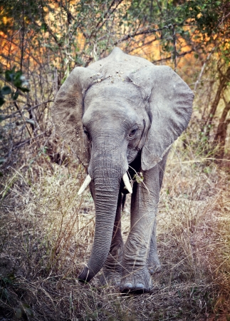 portrait of elephant in luangwa national park zambia photo