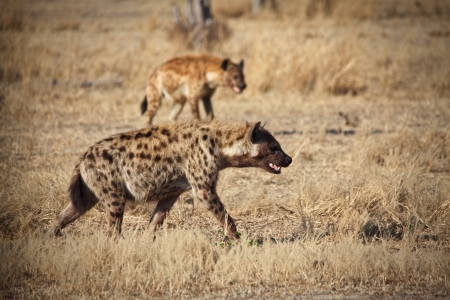 spotted hyena in luangwa  photo
