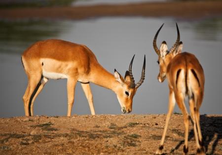 impala in luangwa national park zambia