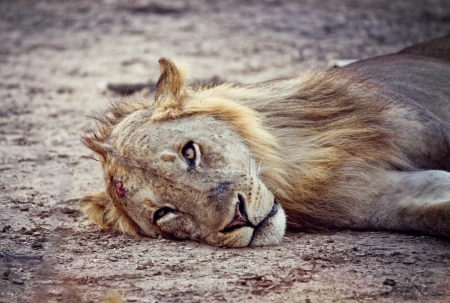 wild lion in luangwa n photo