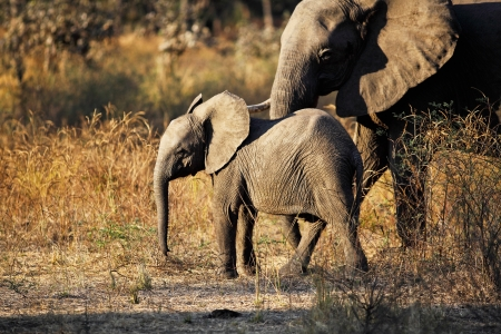 baby elephant in luangwa national park zambia photo