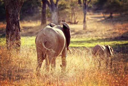 adult and baby elephants in zambia photo