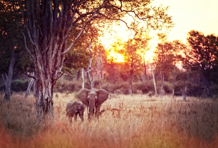 elephant at sunset in luangwa national park zambia photo