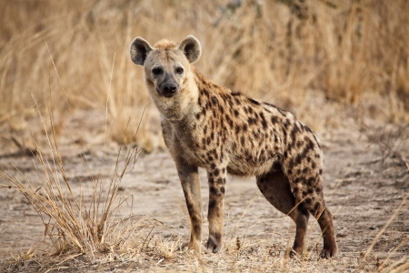 portrait of spotted hyena in luangwa national park zambia photo
