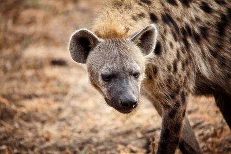 closeup on spotted hyena in zambia photo