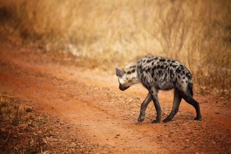 walking hyena in luangwa national park zambia
