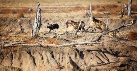 hyena and lycaon fight foor food rare scene photo