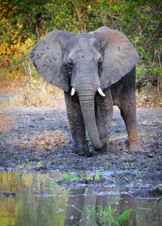 elephant in liwonde national park malawi photo